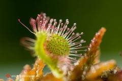 Kwiat śliwy; © Arkadiusz Listkiewicz, all rights reserved
