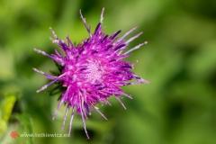 Gwiazdnica wielkokwiatowa; © Arkadiusz Listkiewicz, all rights reserved